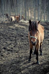木曽馬の写真素材 [FYI00430604]