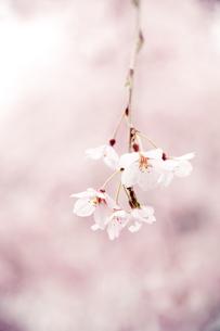 枝垂れ桜の写真素材 [FYI00430605]