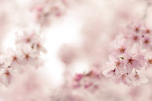 満開の枝垂れ桜の写真素材 [FYI00430612]