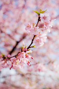 河津桜の写真素材 [FYI00430627]