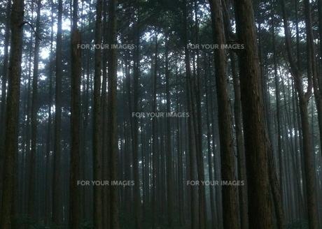 杉の森の中の写真素材 [FYI00430668]