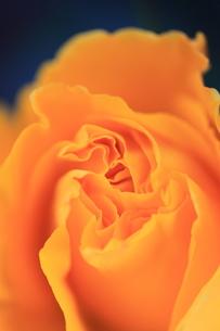 薔薇の写真素材 [FYI00430699]