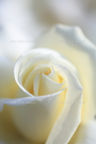 純白の素材 [FYI00430704]