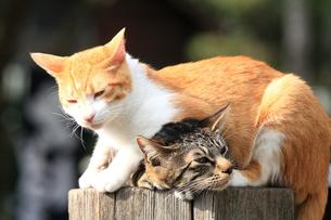 日向ぼっこする2匹の猫の写真素材 [FYI00430715]