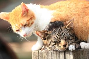 日向ぼっこする2匹の猫の写真素材 [FYI00430719]