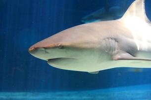 サメの写真素材 [FYI00430721]