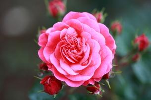 バラと水滴の鏡の写真素材 [FYI00430731]