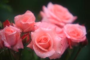 ピンクの薔薇の写真素材 [FYI00430733]