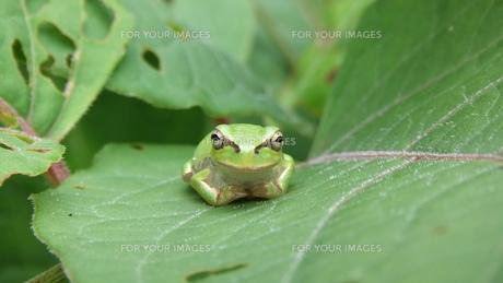 お座り蛙の素材 [FYI00430886]