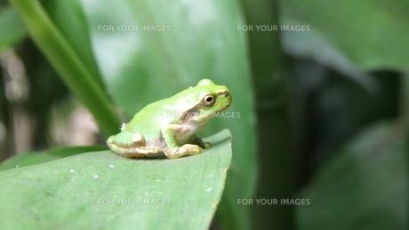 かんがえる蛙の素材 [FYI00430903]
