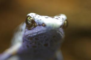 青いカエルの写真素材 [FYI00430934]