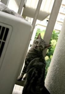 振り返る猫の写真素材 [FYI00431242]