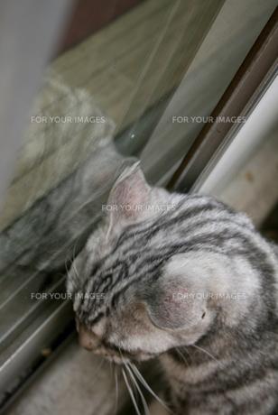 耳が痒い猫の写真素材 [FYI00431248]