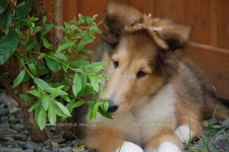 コリー 子犬の写真素材 [FYI00431645]