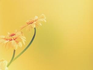 ピンクオレンジのガーベラの写真素材 [FYI00431663]