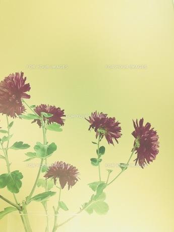 紫の菊のような花の素材 [FYI00431678]