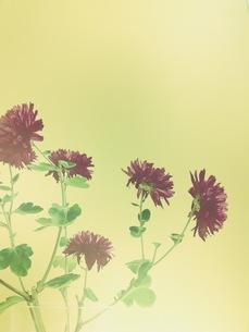 紫の菊のような花の写真素材 [FYI00431678]