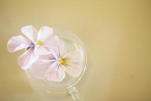 日差しがあたる薄紫のパンジーの写真素材 [FYI00431681]