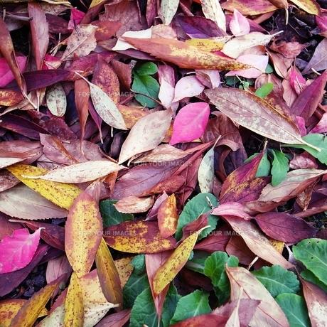 カラフルな落ち葉の素材 [FYI00431707]