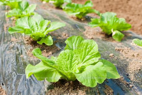 成長途中の白菜の写真素材 [FYI00431709]