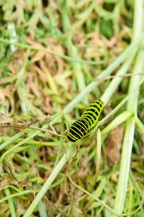 鮮やかなキアゲハの幼虫の写真素材 [FYI00431728]