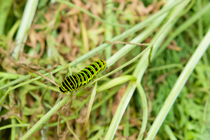 キアゲハの幼虫の写真素材 [FYI00431729]