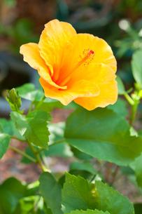 オレンジ色のハイビスカスの写真素材 [FYI00431760]