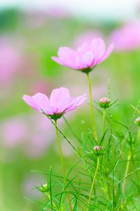 爽やかな緑の中のコスモス の写真素材 [FYI00431762]