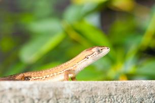 目を閉じたカナヘビの写真素材 [FYI00431808]