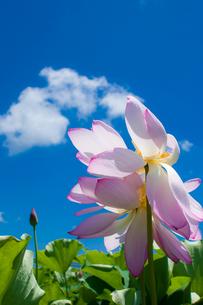 青空と蓮の花の写真素材 [FYI00431812]