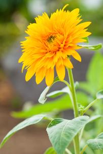 オレンジ色のひまわりの写真素材 [FYI00431813]