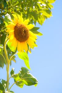 向日葵と青空の写真素材 [FYI00431819]