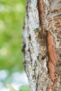 ミンミンゼミと桜の木の写真素材 [FYI00431826]