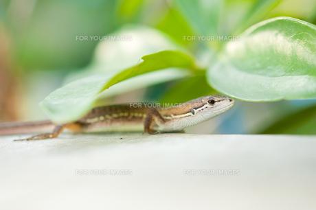 葉に隠れるカナヘビの素材 [FYI00431827]