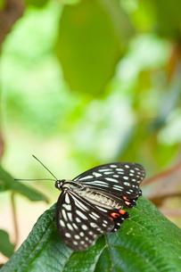 羽を広げたアカボシゴマダラの写真素材 [FYI00431829]