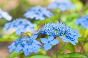 藍姫 の写真素材 [FYI00431853]