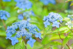 アジサイ 藍姫 の写真素材 [FYI00431859]