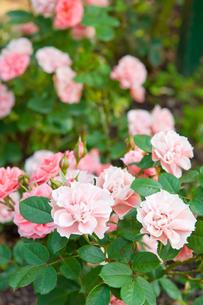 バラ ピンクメイアンディナの写真素材 [FYI00431862]