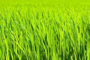 新緑な稲穂 の写真素材 [FYI00431864]