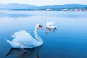 山中湖の白鳥の写真素材 [FYI00431875]