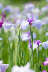 満開の花菖蒲の写真素材 [FYI00431879]