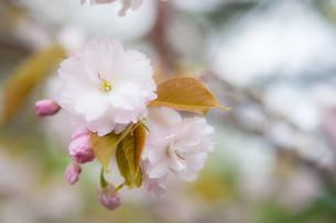 山中湖畔の八重桜の写真素材 [FYI00431887]