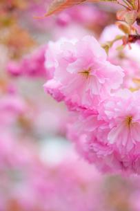 ピンク色の八重桜の写真素材 [FYI00431890]