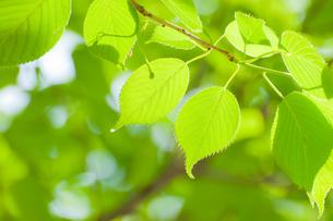 爽やかな新緑の写真素材 [FYI00431902]