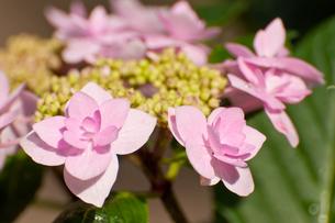 ピンク色のガクアジサイ の写真素材 [FYI00431913]