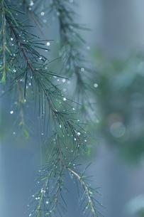 松に付いた水滴の写真素材 [FYI00431918]