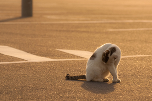 毛づくろいをする猫の写真素材 [FYI00431924]