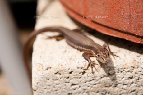 庭にいたカナヘビの写真素材 [FYI00431932]