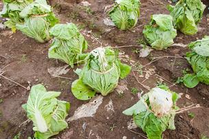 並んだ白菜の写真素材 [FYI00431967]