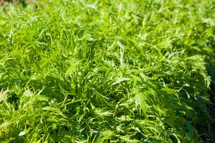 水菜の畑の写真素材 [FYI00431972]